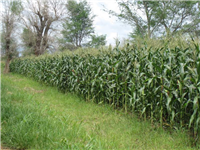 CA with Faidherbia trees and  7 ton maize yield